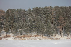 Winter forest. Winter pine and birch tree forest Stock Images