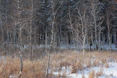 Winter forest. Winter pine and birch tree forest Stock Photography