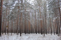 Winter forest. Winter pine and birch tree forest Royalty Free Stock Photos