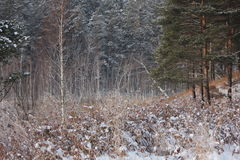 Winter forest. Winter pine and birch tree forest Royalty Free Stock Photo