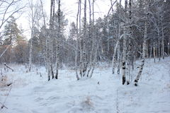 Winter forest. Winter pine and birch tree forest Stock Photo