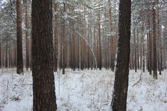 Winter forest. Winter pine and birch tree forest Royalty Free Stock Image