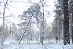 Winter forest. Pine and birch trees photo in the winter forest Royalty Free Stock Photos