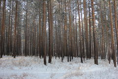 Winter forest. Pine and birch trees photo in the winter forest Stock Image