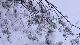 Winter forest, pine branches covered with white snow, landscape stock video footage