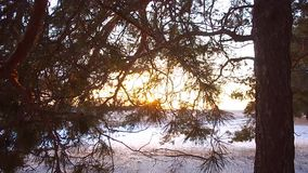 Winter forest pine branches in rays of winter sun close up forest at sunset snowflakes sparkle in sun snow covered. stock video footage