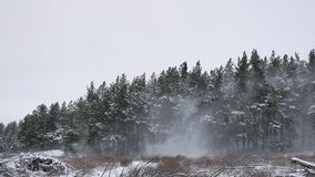 Winter forest pine forest with snow wind storm nature landscape beautiful tree winter christmas background stock video footage