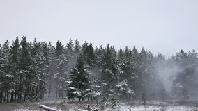 Winter forest pine forest wind with snow storm nature landscape beautiful tree winter christmas background stock video