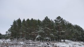 Winter forest pine forest wind with storm snow nature landscape beautiful tree winter christmas background stock video