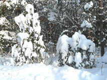 Winter forest. Winter in the pine forest near Bryansk, Russia Royalty Free Stock Photo