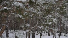 Winter forest pine stock video