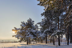Winter forest pine sun. Royalty Free Stock Photos