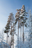 Winter forest pine tree tops in finland at dusk Royalty Free Stock Photos