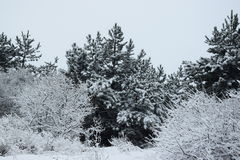 Winter forest. Pine trees and shrubs covered with snow Stock Photo