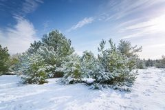 Winter forest pine trees snow natural Stock Image