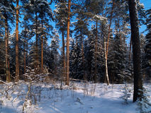 Winter forest with pines. And bright snow Royalty Free Stock Photo