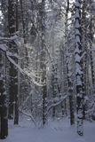 Winter in forest. Ray of light in dark winter forest Royalty Free Stock Photos