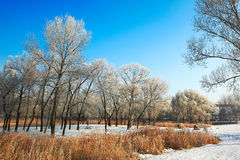 The winter forest with rime scenery Royalty Free Stock Image
