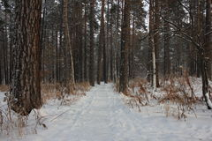 Winter forest road. Winter road through the pine forest Royalty Free Stock Images