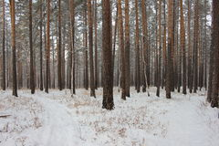 Winter forest road. Winter road through the pine forest Royalty Free Stock Photo