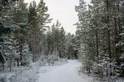 Winter forest road in a  winter light Stock Photography