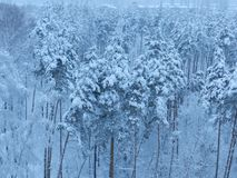 Winter forest in Russia stock photography