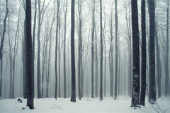 Winter forest scene. Winter foggy beech forest scene Stock Image