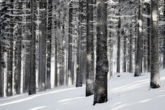 Winter forest scene royalty free stock image