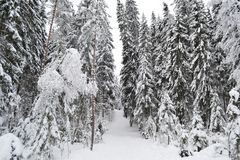 Winter forest. Stock Photo