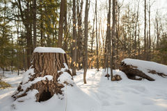 Winter Forest Scene with Stump in Foreground Royalty Free Stock Image