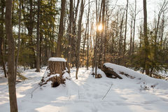 Winter Forest Scene with Stump and Sun Flare Royalty Free Stock Images