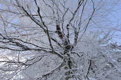 Winter Forest scenery frosty coldly. Snow-covered winter scenery frosty coldly royalty free stock photo