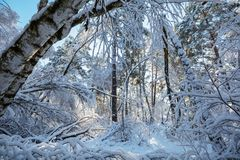 Winter forest. Scenic snow-covered forest in winter season. Good for Christmas background Stock Images