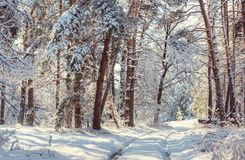 Winter forest. Scenic snow-covered forest in winter season. Good for Christmas background Stock Image