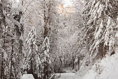 Winter forest in Schwangau Stock Photography