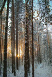 Winter forest. The setting sun in the winter forest Stock Photos