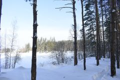 Winter forest. Silver branches. Sun ray. Winter in the woods. Landscape. White snow. Pines Royalty Free Stock Photos