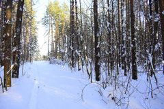 Winter forest. Silver branches. Sun ray. Winter in the woods. Landscape. White snow Royalty Free Stock Photography