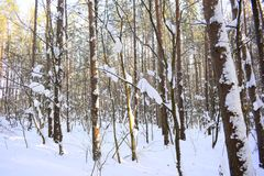 Winter forest. Silver branches. Sun ray. Winter in the woods. Landscape. White snow Royalty Free Stock Photo