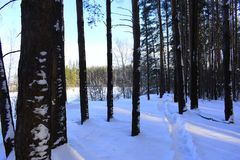Winter forest. Silver branches. Sun ray. Winter in the woods. Landscape. White snow. Pines Stock Photos
