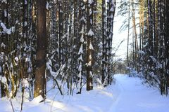 Winter forest. Silver branches. Sun ray. Winter in the woods. Landscape. White snow Stock Images