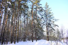 Winter forest. Silver branches. Sun ray. Winter in the woods. Landscape. White snow.Snowy mountain Royalty Free Stock Photos