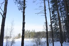 Winter forest. Silver branches. Sun ray. Winter in the woods. Landscape. White snow. Pines Royalty Free Stock Photography