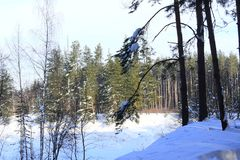 Winter forest. Silver branches. Sun ray. Winter in the woods. Landscape. White snow.Snowy mountain Royalty Free Stock Photo