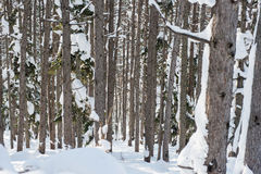 Winter forest ski trail Stock Image