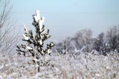 Winter forest, a small fir tree, snow, spruce, winter stock image