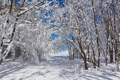Winter forest in a snow Royalty Free Stock Photos