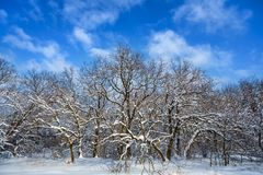 Winter forest in a snow on a blue sky background Royalty Free Stock Photo