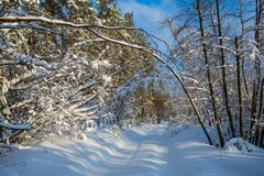 Winter forest in a snow at the bright day Royalty Free Stock Image