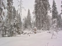 Winter forest. Snow clearing. Pines Royalty Free Stock Photography